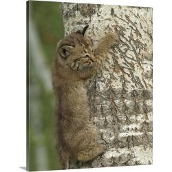 Large Solid-Faced Canvas Print Wall Art Print 24 x 30 entitled Bobcat kitten climbing a tree