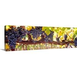 Large Solid-Faced Canvas Print Wall Art Print 48 x 16 entitled Close up of grapes in a vineyard Napa Napa County California