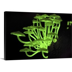 Large Gallery-Wrapped Canvas Wall Art Print 24 x 16 entitled Fluorescent Fungus glowing at night, Danum Valley Conservatio... found on Bargain Bro India from Great Big Canvas - Dynamic for $224.99
