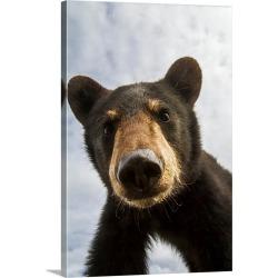 Large Gallery-Wrapped Canvas Wall Art Print 20 x 30 entitled Black bear cub, South-central Alaska, Portage, Alaska