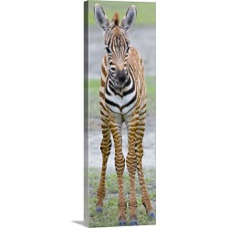 Large Gallery-Wrapped Canvas Wall Art Print 12 x 36 entitled Young zebra standing in a field, Ngorongoro Conservation Area...