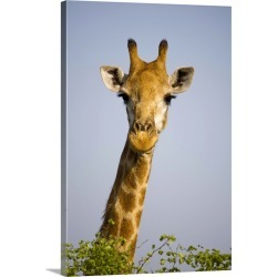 Large Solid-Faced Canvas Print Wall Art Print 20 x 30 entitled Giraff looking at camera, in Kruger National Park in South ...