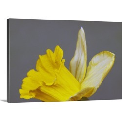 Large Solid-Faced Canvas Print Wall Art Print 30 x 20 entitled Close up of narcissus or daffodil flower blossom, green bac...