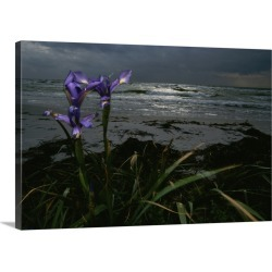 Large Solid-Faced Canvas Print Wall Art Print 30 x 20 entitled Purple irises on beach