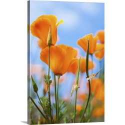 Large Solid-Faced Canvas Print Wall Art Print 20 x 30 entitled California poppies in the gardens of Royal Roads University