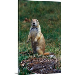 Large Gallery-Wrapped Canvas Wall Art Print 20 x 30 entitled Prairie dog sitting up in grass, looking at camera, North Dakota