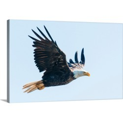 Large Gallery-Wrapped Canvas Wall Art Print 30 x 20 entitled Bald eagle, British Columbia, Canada, North America