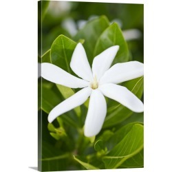 Large Gallery-Wrapped Canvas Wall Art Print 16 x 24 entitled A bright white gardenia flower bloom found on Bargain Bro India from Great Big Canvas - Dynamic for $214.99