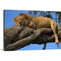 Large Gallery-Wrapped Canvas Wall Art Print 24 x 16 entitled A male lion sleeping in a tree
