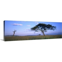 Large Gallery-Wrapped Canvas Wall Art Print 36 x 12 entitled Acacia tree in a field, Serengeti National Park, Tanzania