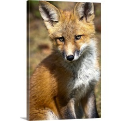 Large Gallery-Wrapped Canvas Wall Art Print 20 x 30 entitled Red Fox Kit Looks At Camera From Near Its Den On The Anchorag...