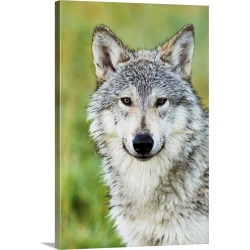 Large Gallery-Wrapped Canvas Wall Art Print 20 x 30 entitled Immature female wolf, South-central Alaska, Portage, Alaska
