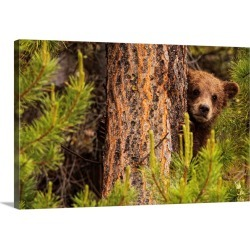 Large Solid-Faced Canvas Print Wall Art Print 30 x 20 entitled Grizzly Bear Cub Up A Tree, Yukon, Canada
