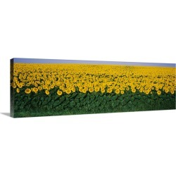 Large Solid-Faced Canvas Print Wall Art Print 48 x 16 entitled Sunflower Field MD