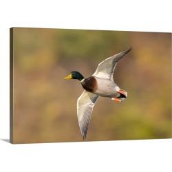 Large Solid-Faced Canvas Print Wall Art Print 30 x 20 entitled Mallard (Anas platyrhynchos) male flying, Kellogg Bird Sanc...