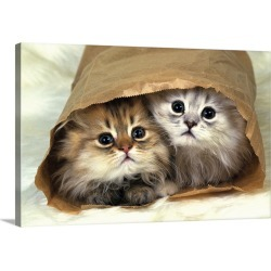 Large Gallery-Wrapped Canvas Wall Art Print 30 x 20 entitled Two Persian Cats In a Little Paper bag, Looking at Camera, Hi...