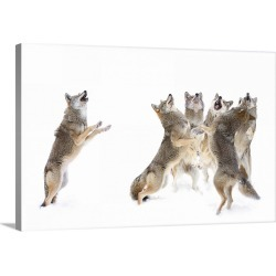 Large Gallery-Wrapped Canvas Wall Art Print 30 x 20 entitled The Choir - Coyotes found on Bargain Bro India from Great Big Canvas - Dynamic for $209.99