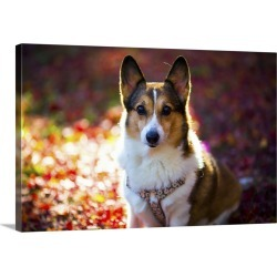 Large Solid-Faced Canvas Print Wall Art Print 30 x 20 entitled Pembroke Welsh Corgi on a day of autumn