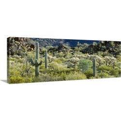 Large Gallery-Wrapped Canvas Wall Art Print 48 x 17 entitled Saguaro cactus (Carnegiea gigantea) in a field, Sonoran Deser...