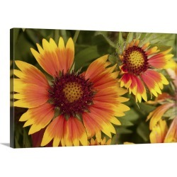 Large Solid-Faced Canvas Print Wall Art Print 30 x 20 entitled Close up of blanket flowers, Gaillardia species