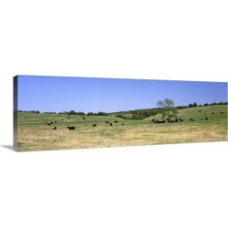 Large Gallery-Wrapped Canvas Wall Art Print 36 x 12 entitled Herd of cows grazing in a field, Kansas