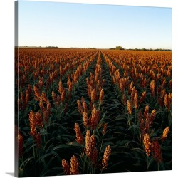 Large Solid-Faced Canvas Print Wall Art Print 20 x 20 entitled Field of healthy mature grain sorghum, ready for harvest, i... found on Bargain Bro Philippines from Great Big Canvas for $144.99