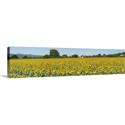 Large Gallery-Wrapped Canvas Wall Art Print 60 x 15 entitled Sunflowers in a field, Cadenet, Vaucluse, Provence Alpes Cote...