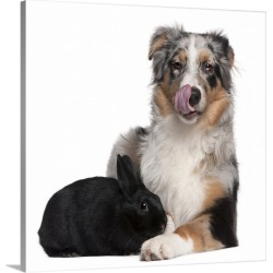Large Solid-Faced Canvas Print Wall Art Print 20 x 20 entitled Black rabbit lying next to an Australian Shepherd found on Bargain Bro from Great Big Canvas - Dynamic for USD $110.19