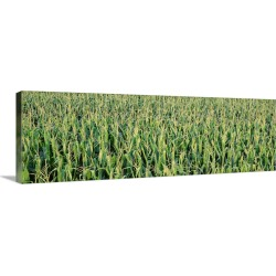 Large Gallery-Wrapped Canvas Wall Art Print 36 x 12 entitled Corn crop in a field, Iowa