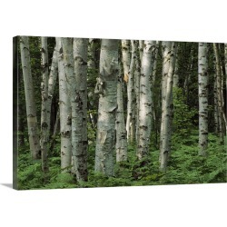 Large Solid-Faced Canvas Print Wall Art Print 30 x 20 entitled A stand of birch trees and ferns in a woodland