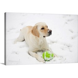 Large Solid-Faced Canvas Print Wall Art Print 30 x 20 entitled A yellow lab lays in the snow