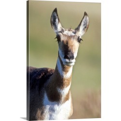 Large Gallery-Wrapped Canvas Wall Art Print 20 x 30 entitled An alert pronghorn antelope stares at the camera