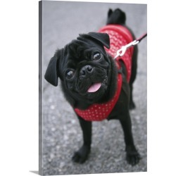 Large Gallery-Wrapped Canvas Wall Art Print 20 x 30 entitled Pug standing looking at camera