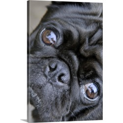 Large Gallery-Wrapped Canvas Wall Art Print 20 x 30 entitled Pug looking at camera, Chiba Prefecture, Honshu, Japan