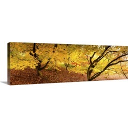 Large Gallery-Wrapped Canvas Wall Art Print 36 x 13 entitled Autumn foliage of Japanese Maple (Acer) tree, England, UK found on Bargain Bro India from Great Big Canvas - Dynamic for $299.99