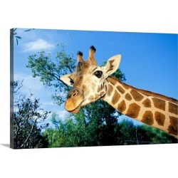 Large Gallery-Wrapped Canvas Wall Art Print 30 x 20 entitled Giraffe looking down into the camera, Australia