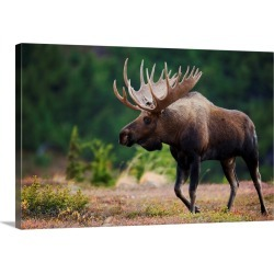 Large Gallery-Wrapped Canvas Wall Art Print 24 x 16 entitled Bull Moose, Powerline Pass, Chugach State Park, Chugach Mount... found on Bargain Bro India from Great Big Canvas - Dynamic for $214.99