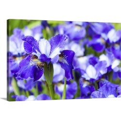 Large Solid-Faced Canvas Print Wall Art Print 30 x 20 entitled Irises in the gardens of Royal Roads University