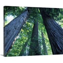 Large Gallery-Wrapped Canvas Wall Art Print 20 x 16 entitled Montgomery Woods State Reserve, California. Ancient redwoods