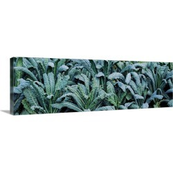Large Gallery-Wrapped Canvas Wall Art Print 36 x 12 entitled Kale (Brassica oleracea) in a field