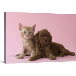 Large Solid-Faced Canvas Print Wall Art Print 30 x 20 entitled American Short-hair Kitten and Toy Poodle Puppy lying together found on Bargain Bro India from Great Big Canvas - Dynamic for $169.99