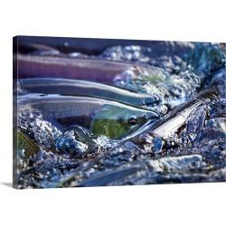 Large Gallery-Wrapped Canvas Wall Art Print 30 x 20 entitled Spawning Salmon, Katmai National Park, Alaska