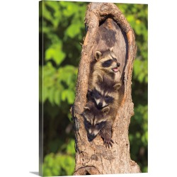 Large Solid-Faced Canvas Print Wall Art Print 20 x 30 entitled Raccoons In A Tree