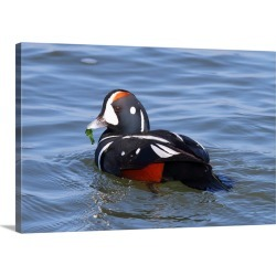 Large Solid-Faced Canvas Print Wall Art Print 30 x 20 entitled A male harlequin duck, eating sea lettuce