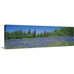 Large Gallery-Wrapped Canvas Wall Art Print 36 x 12 entitled Lupine flowers in a field, Wasatch Plateau, Utah