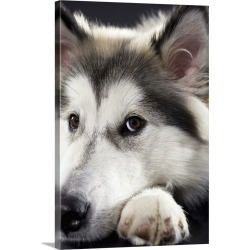 Large Gallery-Wrapped Canvas Wall Art Print 20 x 30 entitled Alaskan Malamute looking at camera