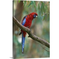 Large Gallery-Wrapped Canvas Wall Art Print 17 x 24 entitled Crimson Rosella parrot, Canberra, Australia