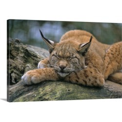 Large Gallery-Wrapped Canvas Wall Art Print 24 x 16 entitled Eurasian lynx (Lynx lynx) found on Bargain Bro India from Great Big Canvas - Dynamic for $214.99