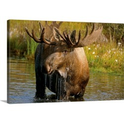 Large Gallery-Wrapped Canvas Wall Art Print 30 x 20 entitled Bull Moose In Pond, Denali National Park, Alaska