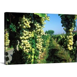Large Solid-Faced Canvas Print Wall Art Print 30 x 20 entitled Italy, Latium, Pomezia, Pomezia, Vineyard found on Bargain Bro Philippines from Great Big Canvas for $189.99